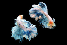 Betta Fish, Siamese Fighting F...