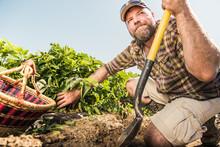 Farmer Harvesting Potatoes In A Field. Laurel, Montana, USA