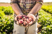 Close-up Of Farmer Harvesting Young Potatoes In A Field. Laurel, Montana