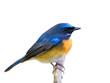 Blue bird isolated on white background, Chinese blue flycatcher (Cyornis glaucicomans)