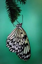 Farfalla Bianca E Nera Su Sfon...