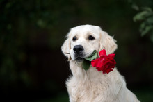 Golden Retriever Dog Holding A Red Rose In Mouth Outdoors