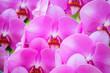 Leinwanddruck Bild - Beautiful Phalaenopsis Orchid flower blooming in garden floral background
