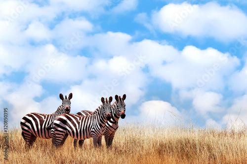 Grupa dzikie zebry w afrykańskiej sawannie przeciw pięknemu niebieskiemu niebu z białymi chmurami. Wildlife of Africa. Tanzania. Park Narodowy Serengeti. Afrykański krajobraz. Skopiuj miejsce