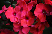 Large Clusters Of Pink Garden Phlox Flowering Plant On Brown Background With Leaves. Pink Phlox Flowers In The Garden. It Is Theme Of Seasons. A Close-up Of Cluster Of Beautiful Bright Phlox Flowers