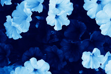 Bright Petunia Flowers (Petuni...