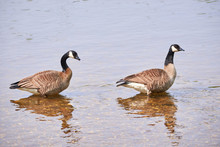 Two Canada Geese ( Branta Cana...