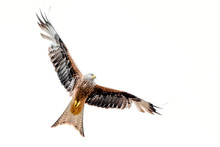 Isolated Red Kite With Fully O...
