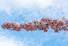 Closeup Of A Branch Of Cherry ...