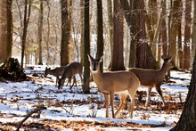The White-tailed Deer Is Tan Or Brown In The Summer And Grayish Brown In Winter. It Has White On Its Throat, Around Its Eyes And Nose, On Its Stomach And On The Underside Of Its Tail.