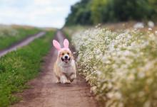 Cute A Corgi Puppy Runs Merril...