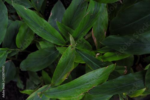 Photo Alpinia nutans (2019)