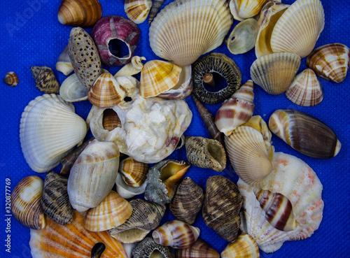 Conchas marinhas do Brasil encontradas na praias de Itanhaém Tapéta, Fotótapéta