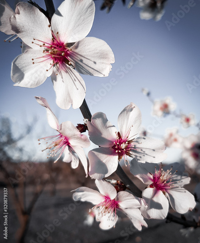 Spring Cherry blossoms, pink and white flowers.