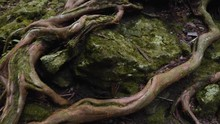 Complex Tree Root System Visible Above Ground Covered In Moss, Beautifully Winding And Twisting; Japan