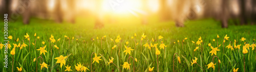Spring background field daffodils in the meadow near the forest web banner with copy space - 320880348