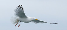 Herring Gull Feeding I The Nor...