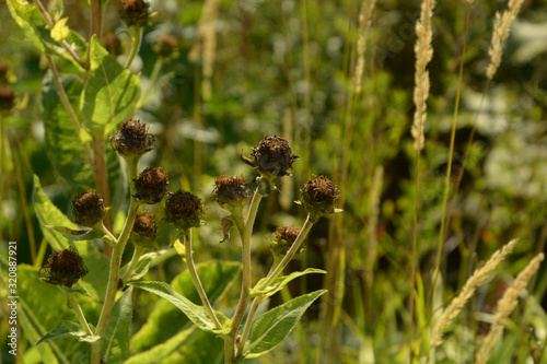 helianthus mollis in front of blurry background, ashy sunflowers in late summer Canvas Print