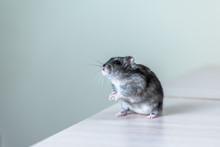 A Little Gray Hamster Sits, Wa...