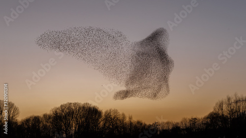 Photo The Murmurations of Starlings in evening light