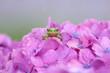 canvas print picture - 雨の中紫陽花の上で佇むカエル