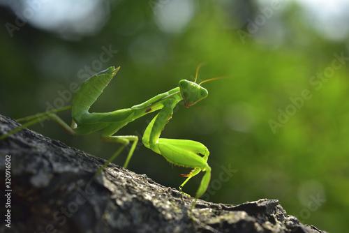 Fototapeta Close up of the Praying Mantis