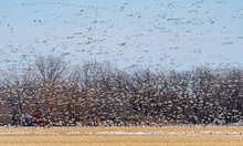 A Large Group Of Snow Geese Ta...