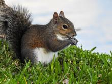 Cute Squirrel In The Grass