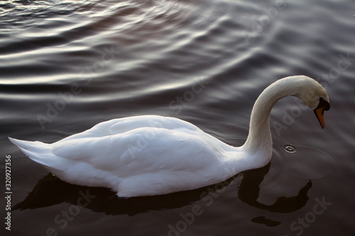 A single white swan on a pond near Glasgow, Scotland at sunset on a winters day Canvas Print