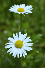 Close Up Of The French Daisy