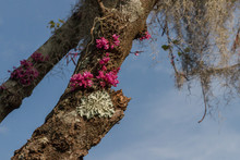 Red Bud Flowers Growing On Tree Along With White Moss Or Lichen