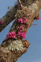 Red Bud Flowers Growing On Tree Trunk Also Some Moss Or Lichen In The Fall With A Blue Sky