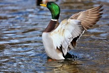 Mallard Duck In Winter.Natural Scene From Wisconsin Conservation Area