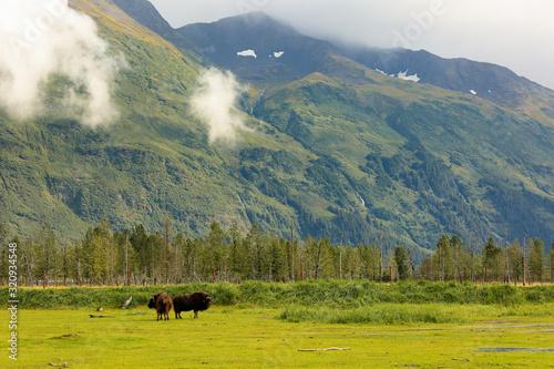 Two wood Bison gazing against a beautiful Alaska landscape