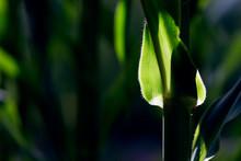 Close Up Of Green Corn Plant L...