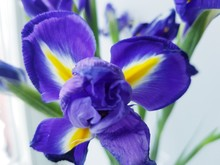 Iris In The Garden. Close-up Iris Flower Purple And Blue Color, Floral Background Top View, Festive Spring Background For Greeting Card And Banner