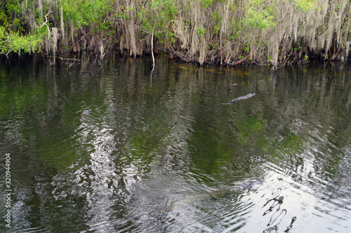 Photo View of a wild alligator in a swamp in the Everglades, Florida, United States