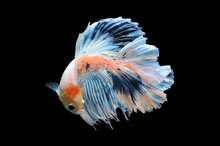 Betta Fish, Siamese Fighting F...