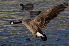 Close View Of A Canada Goose, Seen Landing  Over A North California Marsh