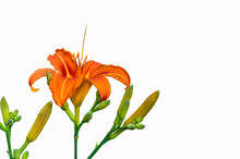 Blooming Orange Lily With Closed Buds Isolated On White Background