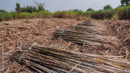 Cutting sugarcane in the field Canvas Print
