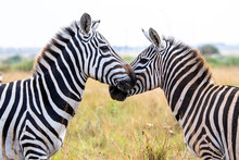 Two Zebra Head