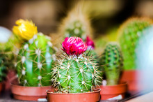 Cactus Flowering In Brown Pots