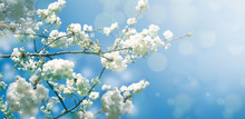 Spring Diffuse Background With Blue Sky And Branches Of Blooming Sakura Tree