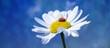 canvas print picture - Marienkäfer auf einer Margerite bzw. einer Blume