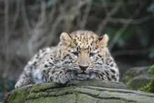 Adorable Amur Leopard Cub At The Zoo