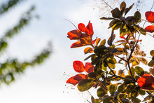 Green And Red Leaves Backlit B...
