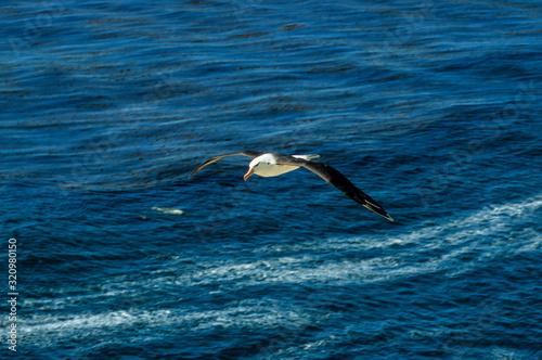 Fototapeta Albatros à sourcils noirs,