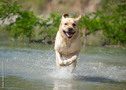 Valokuvatapetti Running Labrador Retriever on river