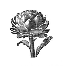 Artichoke - Antique Engraved I...